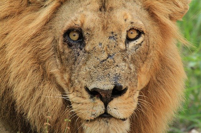 lion with scars on it's face