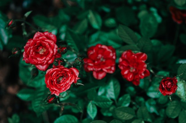red roses with leaves around